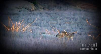 Photograph -  Wary Coyote  by Susan Garren