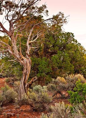 Photograph -  Weathered Tree Sunrise Canyon Dechelly by Bob and Nadine Johnston