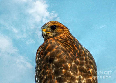 Photograph -  What Are You Looking At Red Shoulder Hawk by Peggy Franz