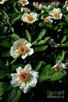 Photograph -  White Peonies by Jacqueline M Lewis