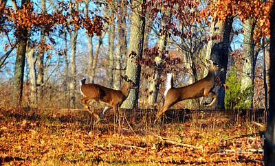 Photograph -  White Tail Deer Leaping  by Peggy Franz