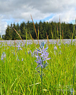 Photograph -  Wild Camas In Oregon by Mindy Bench