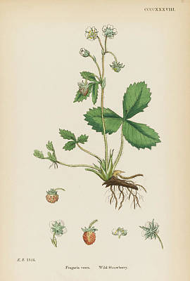 Strawberries Drawing -  Wild Strawberry         Date 1863 by Mary Evans Picture Library