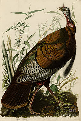 Animals Drawing -  Wild Turkey by Celestial Images
