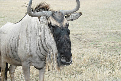 Photograph -  Wild Wildebeest by Dyle   Warren