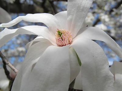Pussy Willow Blooms Photograph -  Willowy Magnolia Blossom by Tina M Wenger
