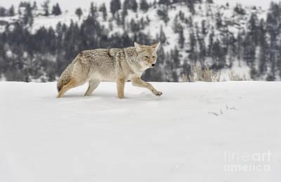 Dog In Snow Photograph -  Winter's Determination by Sandra Bronstein