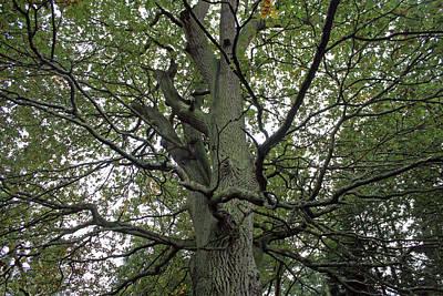 Photograph -  Woodland Canopy by Tony Murtagh