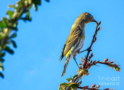 Yellow Rumped Warbler Photograph -  Yellow-rumped Warbler by Robert Bales