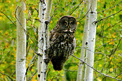 Mellow Yellow - 0087 Great Grey Owl by Steve Sturgill