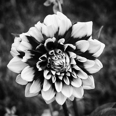 Photograph - 01 Lovely Dahlia by Ben Shields