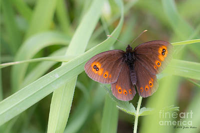 02 Woodland Ringlet Butterfly Original by Jivko Nakev