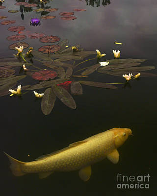 0212 Yellow Koi Art Print by Lawrence Costales