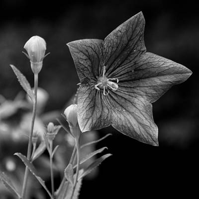 Photograph - 04 Balloon Flower by Ben Shields