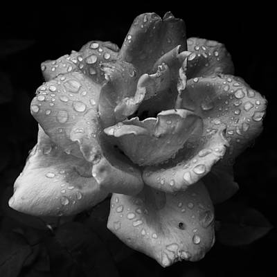 Photograph - 05 Wet Rose by Ben Shields