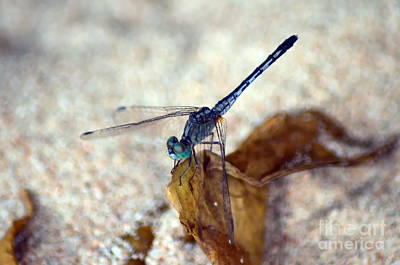 Blue Dragonfly Art Print