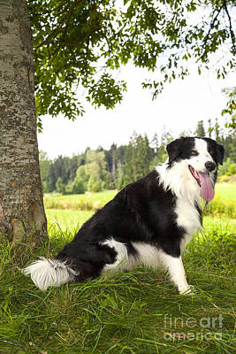 Border Collie In The Nature Art Print by Regina Koch