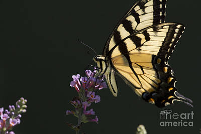 Photograph -  Eastern Tiger Swallowtail Series by Cris Hayes