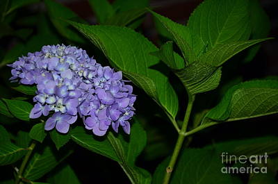 Photograph - Lavender Hydrangea by Bob Sample