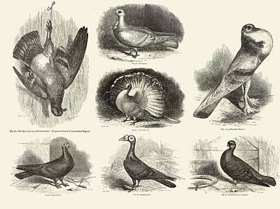 1868 Photograph - 1868 Darwin Pigeon Breeds Illustration by Paul D Stewart