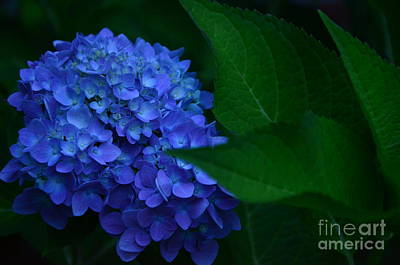 Photograph - Deep Blue Hydrangea # 2 by Bob Sample
