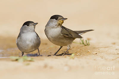 Blackcap Photograph - 2 Male Eurasian Blackcap by Eyal Bartov