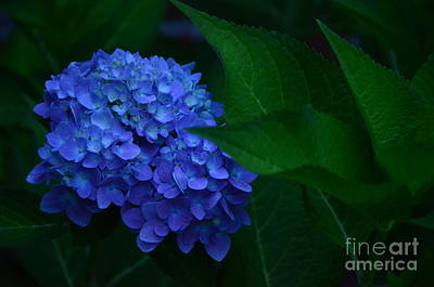 Photograph - Deep Blue Hydrangea # 3 by Bob Sample