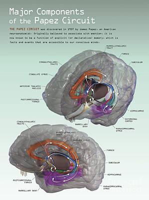 Human Brain Digital Art - 3d Illustration Of The Papez Circuit by Nicholas Mayeux