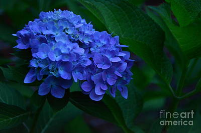 Photograph - Deep Blue Hydrangea # 4 by Bob Sample