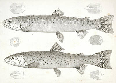 Brook Trout Drawing - 1-4. Salmo Gibbsii by Artokoloro