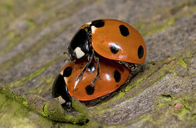 7-spot Ladybirds Art Print by Nigel Downer