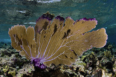 Photograph - A Beautiful Sea Fan Along The Edge by Ethan Daniels