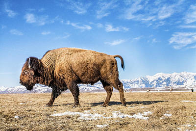 Wild Animals Photograph - A Bison In The 24,700-acre National Elk by Charlie James