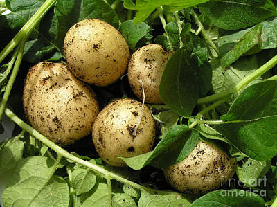 Potatoes Photograph - A Bunch Of Fresh New Potatoes by Kerstin Ivarsson