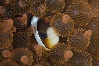 A Clarks Anemonefish Nuggles Art Print