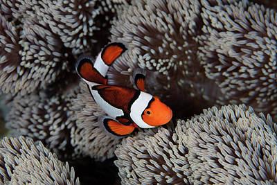 A Clownfish Swims Among The Tentacles Art Print