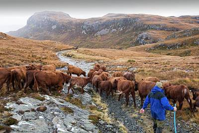 Brown Cow Photograph - A Farmer Droves His Cattle by Ashley Cooper