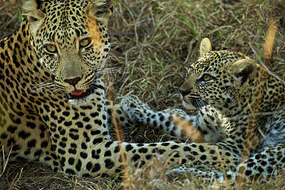 Photograph - A Female Leopard Rests With Her Cub by Steve Winter