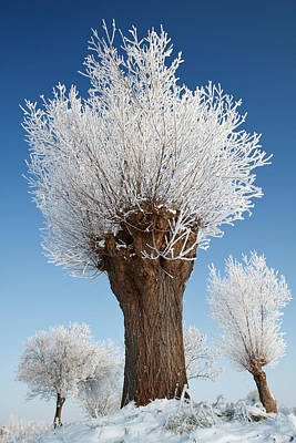 Winter Netherlands Photograph - A Frosted Willow On A Very Cold And Bright Winter Day by Roeselien Raimond