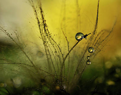 Delicate Photograph - A Golden Morning Shower by Heidi Westum