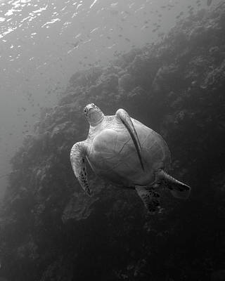 Green Sea Turtle Photograph - A Green Sea Turtle At The Bunaken by Brent Barnes