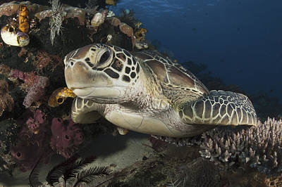 Green Sea Turtle Photograph - A Green Turtle Resting On A Reef Top by Steve Jones