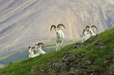 A Group Of Dall Sheep Rams Rest Art Print by Hugh Rose