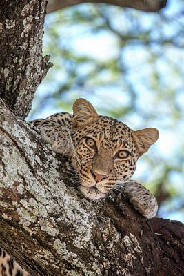 A Leopard, Panthera Pardus, Resting Art Print