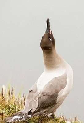 A Light Mantled Albatross Art Print by Ashley Cooper