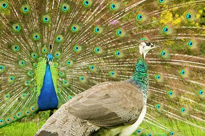 A Male Peacock Displaying To A Female Art Print by Ashley Cooper