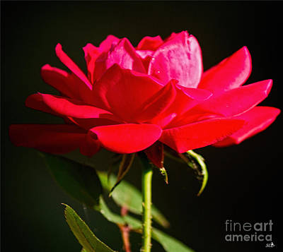 Photograph - A Red Rose by Sandra Clark