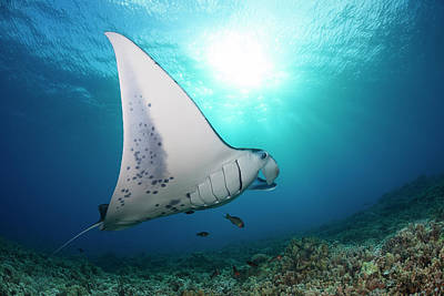 Photograph - A Reef Manta Ray  Manta Alfredi by Dave Fleetham