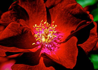 Photograph - A Rose Is A Rose by Frozen in Time Fine Art Photography
