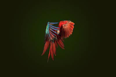 Photograph - A Scarlet Macaw In Mid Flight by Tim Platt